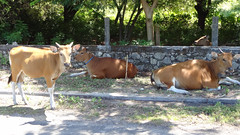 Cows Along the Path, Serangan Island, Bali, Indonesia (dannymfoster) Tags: bali indonesia cow serangan seranganisland