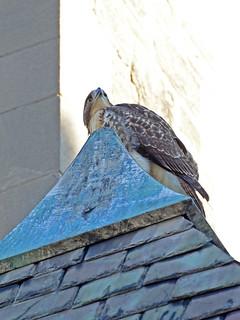 Cathedral Hawk Fledgling - 3033