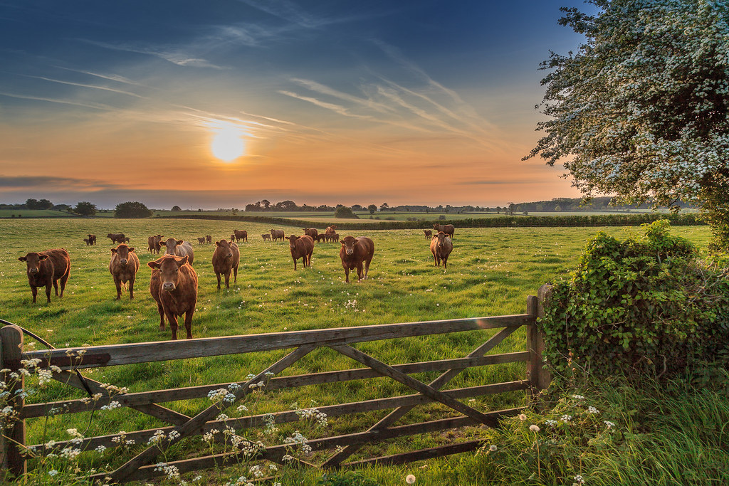 Cows ranged behind a gate at dawn.