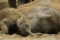 Aziatische olifanten (K.Verhulst) Tags: elephants olifant emmen noorderdierenpark olifanten dierentuinemmen aziatischeolifant asiaticelephants radza radzajunior