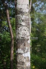 Shorea ovata (Zaharil/ Texas) Tags: plant tree nature forest flora southeastasia bark tropical trunk biodiversity bole angiosperm peninsularmalaysia westmalaysia dipterocarpaceae endangerediucnredlist darkredmeranti highlandmountainmontane1000masl shoreaovate merantisarangpunaibukit