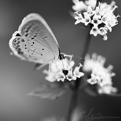 Simplicity (AlyKPhoto) Tags: blackandwhite bw macro cute nature canon butterfly bug insect outside outdoors grey wings small gray wing moth dramatic 100mm tiny usm f28 6d