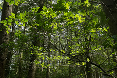 Looking up (Briggate.com) Tags: trees ecology leaves forest woods foliage greenery ecologies harewood naturehour harewooddsf1974