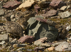 """White-tailed Ptarmigan • <a style=""""font-size:0.8em;"""" href=""""http://www.flickr.com/photos/63501323@N07/14719398690/"""" target=""""_blank"""">View on Flickr</a>"""