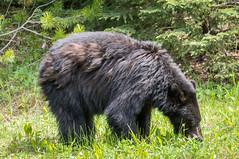 Black bear's lunch time (NettyA) Tags: bear travel canada nature animal landscape wildlife alberta northamerica blackbear banffnationalpark canadianrockies 2014 bowvalley lakelouisevillage sonynex6