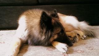 Lassie,a Belgian sheepdog