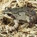 Illinois Chorus Frog