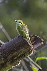 Green Bee Eater (subhramani) Tags: birds canon july safari perch 100400mm 2014 greenbeeeater bandipurtigerreserve canon60d junglelodgesresort subhramanisathyanarayan