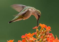 Hummingbird (snooker2009) Tags: orange flower bird nature hummingbird wildlife flight hummer hovering dailynaturetnc13