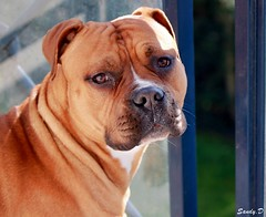 IMG_3695 (photography.sandy) Tags: dog chien canon staff boxer animaux eos1100d