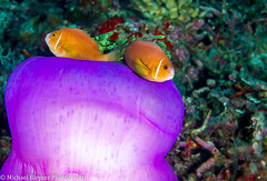 Our Anemone. Protect on all sides! (mbfirefly) Tags: sea uw colors underwater anemone maldives anemonefish seaanemone underwaterphotography