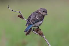 Eastern bluebird (Phiddy1) Tags: baby toronto ontario canada birds ngc bluebird easternbluebird