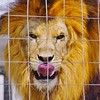 Lion at Prince William County Fair, 2014 (Stephen Little) Tags: 18mm princewilliamcountyfair sigma18250 sigma18250mm sigma18250mmf3563 sigma18250mmf3563dcoshsm sonya77 jstephenlittlejr sigma18250mmf3563dcoshsm880205 slta77 sonyslta77 sonyslta77v sonyalphaslta77v