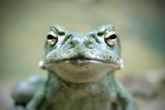 Pucker Up (shadamai) Tags: arizona cute green desert tucson desertmuseum amphibian frog flickrchallengegroup flickrchallengewinner