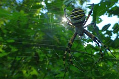 ...hold on ! (@ntomarto) Tags: macro backlight spider hold controluce ragno argiope tela argiopebruennichi onhold antomarto ntomarto
