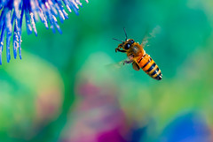 Follow your Dream(s) (Danny Perez Photography) Tags: california park ca flowers abejas plants plant flower macro green nature gardens garden insect losangeles wings nikon bees insects bee abelha inseto micro ape nectar pollen nikkor abeja insekt honeybee abeille bij insetto biene insecto honeybees 105mm insecta   pollinator  apoidea pollinators   105mmf28gvrmicro 105mmf28gedifafsvrmicronikkor   nikonmicro