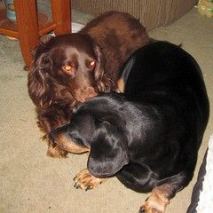 love link dachshunds jimmydean