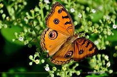 Oriental Peacock Pansy (ArvinderSP) Tags: butterfly roorkee naturephotography 571 uttarakhand natureupclose peacockpansy arvindersingh nikond7000 junoniaalmanaalmana tamronaf18270mmf3563diiivcpzd arvindersp butterfiesofindia arvinderspcom orientalpeacockpansy