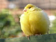 birds yellow aviary canary aug2014