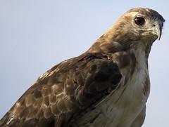 rth backstop (jphillipobrien2006) Tags: newjersey jackson oceancounty americangoldfinch redtailedhawk easternbluebird pinepark newjerseywild