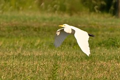 Great Egret In Flight (pecooper98362) Tags: bird texas egret greategret sugarland greatwhiteheron commonegret emptyfields ahobblingaday flyingegret imperialcircle astreakofflyingbirdstoday