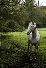 Cheval (Martefr) Tags: horse france verde green caballo cheval bretagne vert francia bretaa trestel trevou