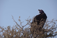 KCC_9287 (kccornell) Tags: africa park national vulture namibia etosha lappetfaced