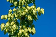 Green on blue (SirEstragon) Tags: hop cascade houblon