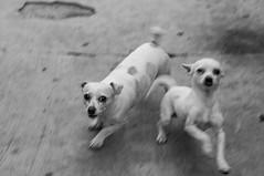 simba_nala_1 (Velazquez Chris) Tags: blackandwhite bw pet motion blur dogs animal happy blackwhite motionblur expressive hungry