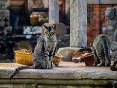 Temple Cat (RikRik75) Tags: bali cat canon sx50