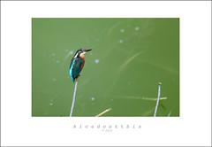 Marin pescatore (VinTer59) Tags: bird nature natura uccelli oasis avifauna oasi alcedoatthis bentivoglio martinpescatore nikond300s
