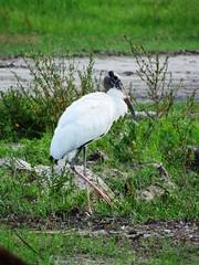 Wood Stork (Jim Mullhaupt) Tags: white black bird big nikon flickr florida large coolpix bradenton stork woodstork wader p510 mullhaupt jimmullhaupt