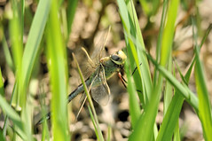 2014 Common Green Darner (Anax junius) (DrLensCap) Tags: green robert wisconsin bug insect fly dragon state dragonfly wildlife landing area marsh common wi kramer darner horicon greenhead anax junius