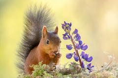 squirrel and flower (Geert Weggen) Tags: blue red flower green nature animal yellow mammal rodent moss squirrel purple violet geert perennial weggen ilobsterit hardeko