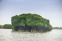 IMG__2 (Gautham Metalingus) Tags: trees lake forest canon landscape boat fishermen crab system mangrove kingfisher root mangroves forests tamilnadu boatride intricate canon18135mm canon550d