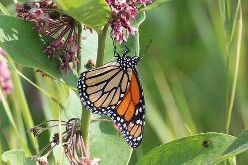 Limenitis archippus (Viceroy Butterfly)