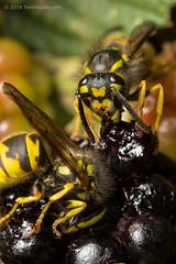 IMG_5633 (tomhouslay) Tags: macro fruit insect wasp feeding blackberries yellowjacket hymenoptera behaviour vespulavulgaris