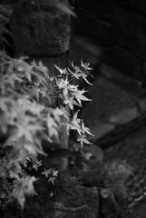 "MEMORY OF THE FALL (YOUANDMEORUS) Tags: leica autumn blackandwhite bw monochrome bokeh bn thefall leitz flickrfriday ""artinbw tetsuyamiyamori memoryofthefall"