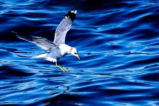 Herring Gull : セグロカモメ