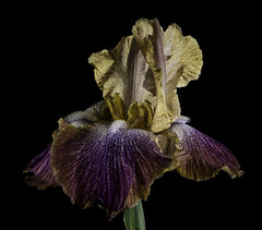 Glowing Iris In The Light (Bill Gracey 15 Million Views) Tags: iris fleur flower flor garden offcameraflash softbox yongnuo trigger homestudio backlit softlight backlighting color colorful tabletopphotography nature naturalbeauty naturephotography macrolens
