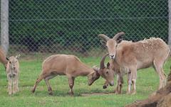 D09956.  Barbary Sheep. (Ron Fisher) Tags: barbarysheep sheep zoo animal kessingland lowestoft africaalive suffolk eastanglia england gb greatbritain uk unitedkingdom europe pentax pentaxkx