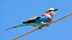 Lilac-breasted Roller (Sergey Yeliseev) Tags: lilacbreastedroller coraciascaudatus лиловогрудаясизоворонка