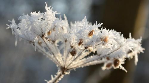 Schafgarbe mit Frost - frozen yarrow