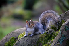 Fluffy friend (Roger.C) Tags: squirrel park wales southwales wfc newport gwent bellevuepark animal animals cute fluffy furry sweet tail trees bokeh nikon d610 70300mm overcast daysout critter nuts treerat