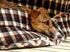 DSCN7306 hiro rotondo (dina.elle) Tags: galgo cucciolo tigrato levriero levrierospagnolo piccolo osservare relax sole esterno compagnia spagna adozione adottato adopt espana