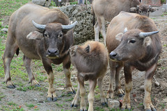 Young Buffaloes 2 (Bob Hawley) Tags: nikond7100 nikon2870mmf3545afd asia pingtung taiwan outdoors xuhai animals bubalusbubalis domestic farming agriculture graveyards cemeteries juvenile