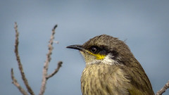 Singing honeyeater (Lanceflot) Tags: bird birding birdwatching honeyeater singing masked australia head bight south wildlife feather yellow looking