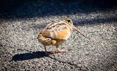 Timberdoodle (Wild Birdy) Tags: mn minnesota aves bird woodcock timberdoodle americanwoodcock scolopaxminor
