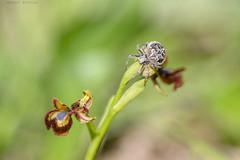 La protectora (sergio estevez) Tags: araña bokeh color desenfoque flowers flor insecto luz macro micro naturaleza nikonafs300mmf4 orquidea sergioestevez verde
