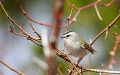 Golden Crown Kinglet Bouncing Around (rmikulec) Tags: birds wildlife wild animal avian feather wind trees spring migration buds forest kinglet golden crown little small hike nature